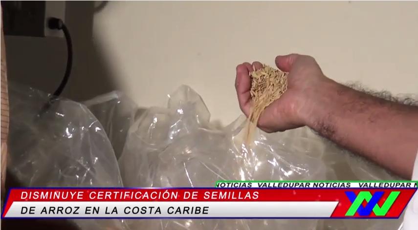 Disminuye certificación de semillas de arroz en la CostaCaribe