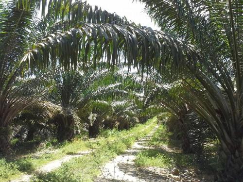 Palmicultores deben registrar sus predios ante elICA