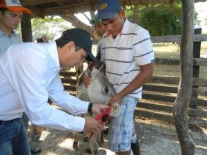 El gerente general del ICA Luis Humberto Martinez colocando chapeta de identificación a un ternero