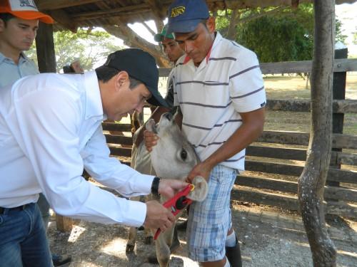El ICA trae 110.000 dines para identificación de bovinos en elCesar