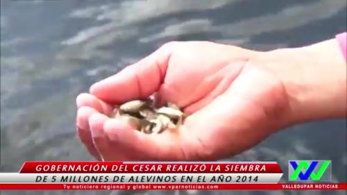 Gobernación del Cesar realizó la siembra de más de 5 millones de alevinos en el año2014