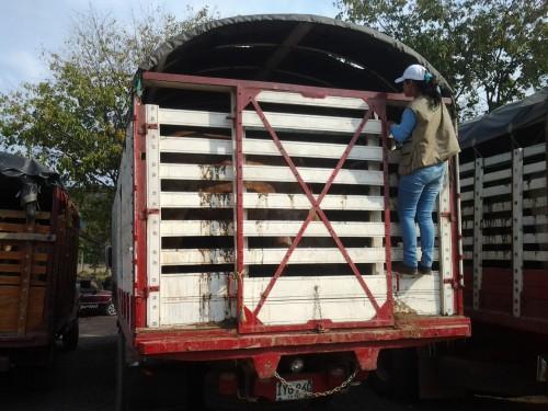 Fueron incautados 45 semovientes de contrabando en Codazzi,Cesar