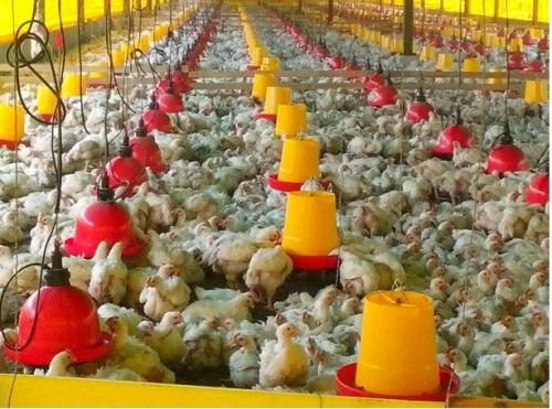 Productores del Cesar le apuntan a granjas avícolasbioseguras