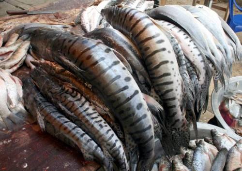 Por veda AUNAP prohibe la pesca de bagrerayado