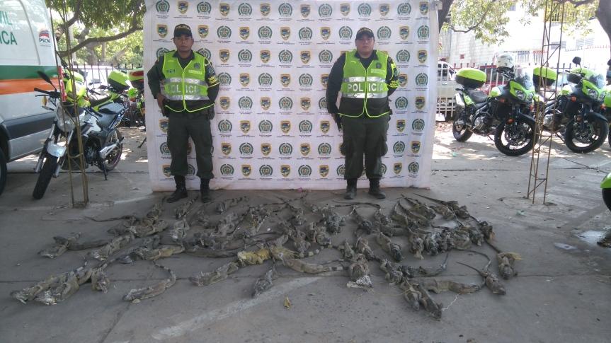 Continúa tráfico de iguanas, 82 fueron incautadas yliberadas