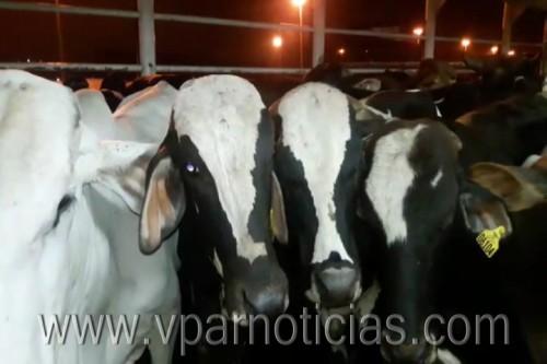 Continúa exportación de ganado de la Costa hacia OrienteMedio