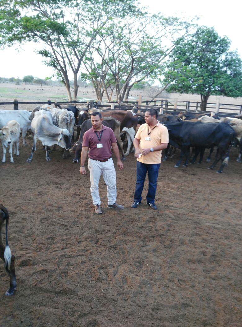 Inmovilizados en La Guajira 89 reses y 32 cerdos decontrabando