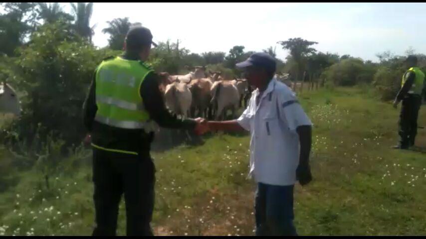 Policía recupera 60 reses que habían sido hurtadas en Chiriguaná,Cesar