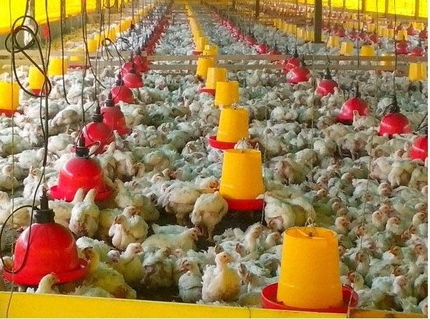 Gobierno departamental dispuesto a apoyar proyectos avícolas en elCesar