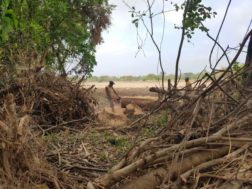 Corpocesar adelanta operativos contra la tala deárboles