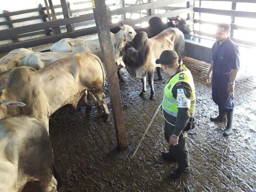 Polfa y carabineros aprehendieron 13 bovinos decontrabando