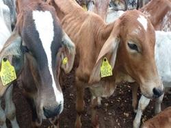 El ICA socializó requisitos para obtener la Autorización Sanitaria y de Inocuidad, con ganaderos delCesar