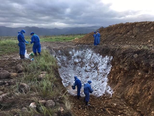 El ICA inició sacrificio de cerca de 300 reses por foco de fiebre aftosa enArauca