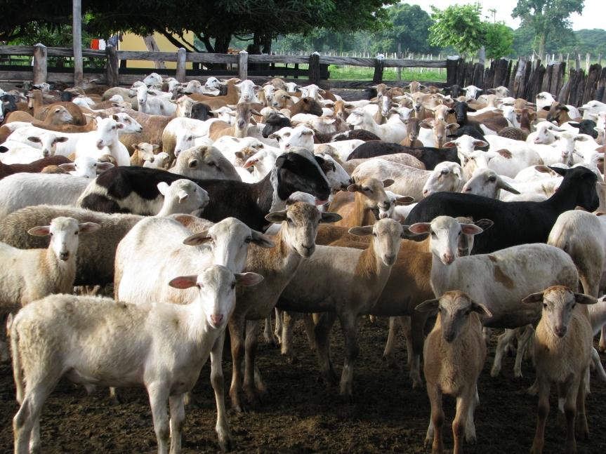 Valledupar será el epicentro para la cadena ovino caprina del Caribeseco