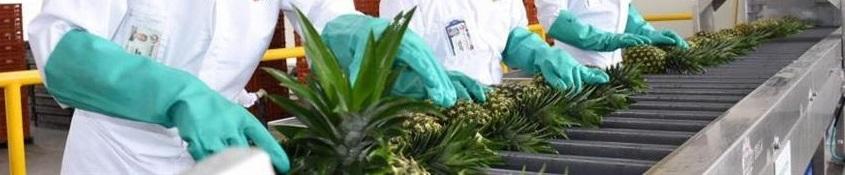 Llegan al mercado canadiense 19 toneladas de piña colombiana cultivada en elCesar