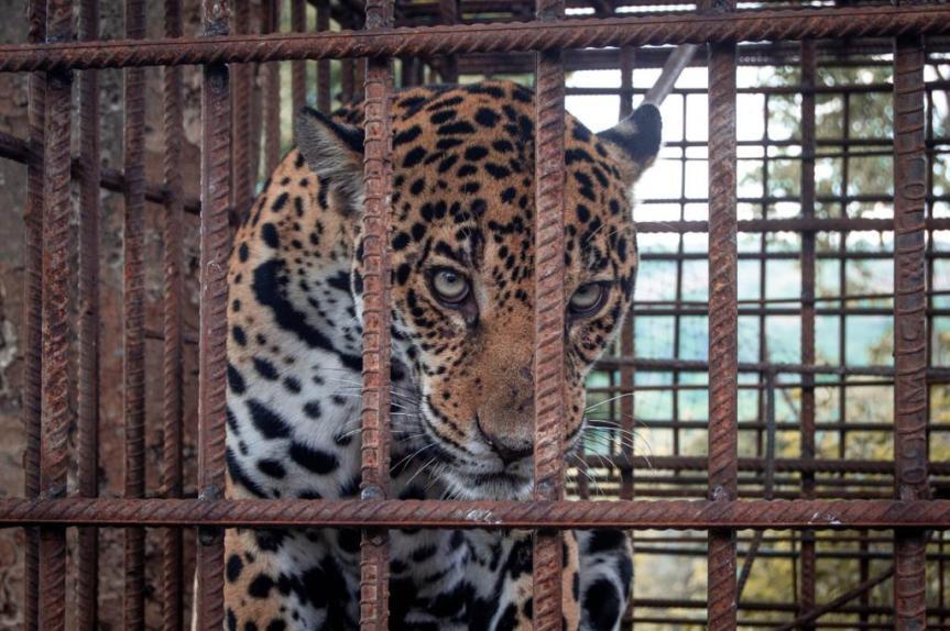 Corpocesar liberó un jaguar en la Serranía delPerijá