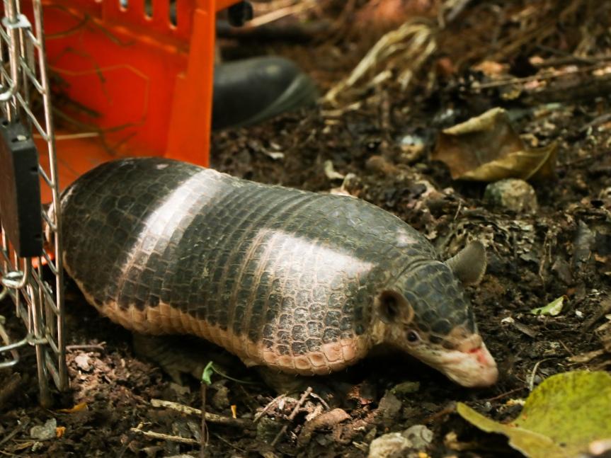 Corpocesar y Cortolima liberaron 135 especímenes de fauna silvestres en elCesar
